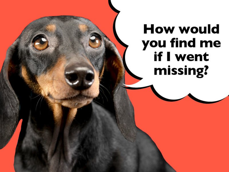 What to do if your Dachshund goes missing