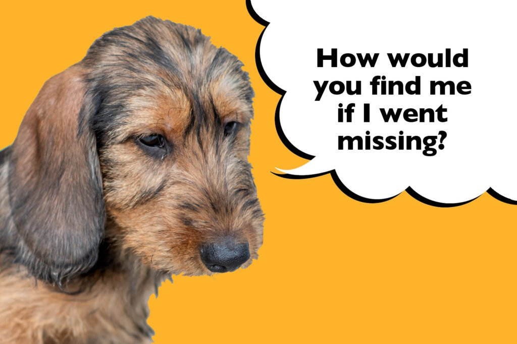 Dachshund on a yellow background with a speech bubble that says 'how would you find me if I went missing?'