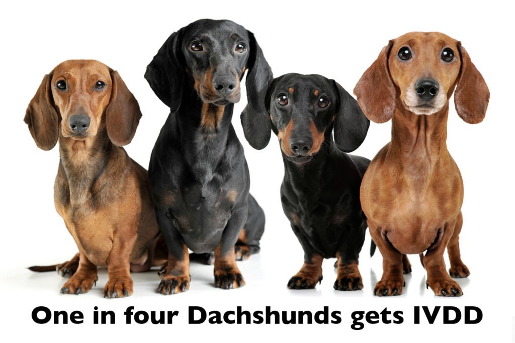 how to reduce the risk of IVDD in Dachshunds. Photo of four Dachshunds with the heading that says 'one in four Dachshunds gets IVDD'
