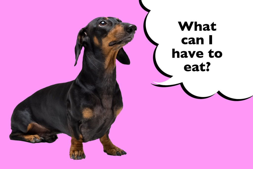 Dachshund on a pink background with a speech bubble that says 'what can iI have to eat?' to show that eating a balanced diet will reduce the risk of IVDD in Dachshunds