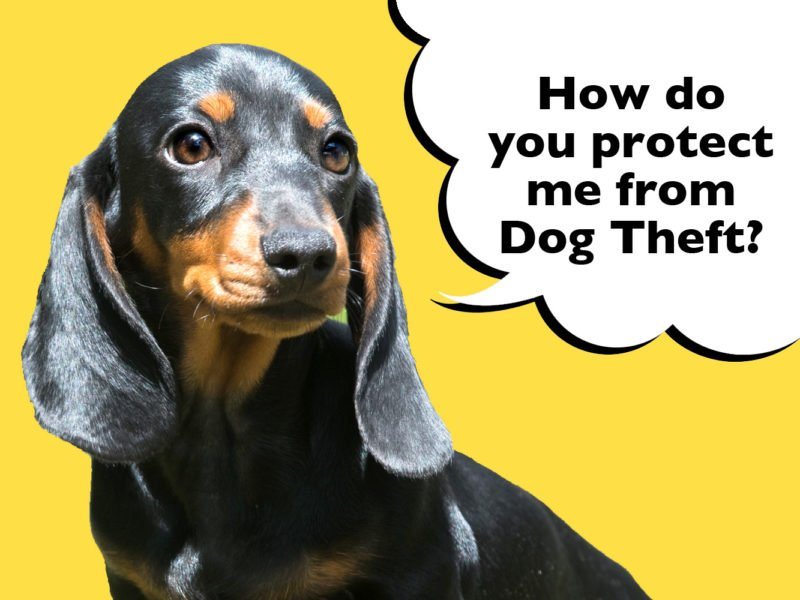 How to protect a Dachshund from dog theft