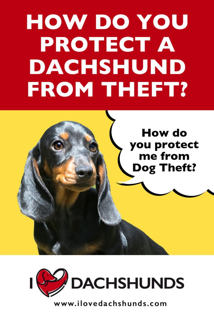 Dachshund puppy on yellow background with speech bubble that says 'how do you protect me from dog theft?'