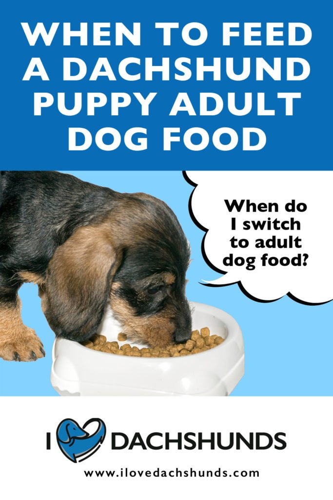 'when to feed a dachshund puppy adult dog food' heading with an image of a dachshund eating food and a speech bubble that says 'when do i switch to adult food?'