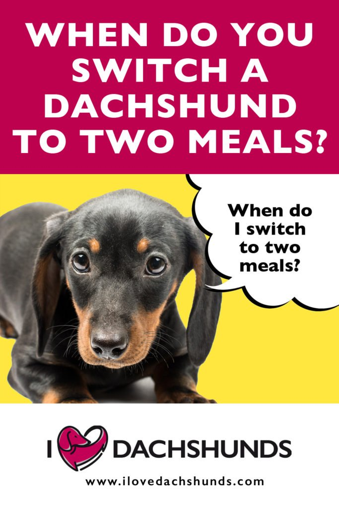 'When do you switch a Dachshund to two meals a day' heading with a photo of a Dachshund puppy and a speech bubble that says 'When do I switch to 2 meals?'