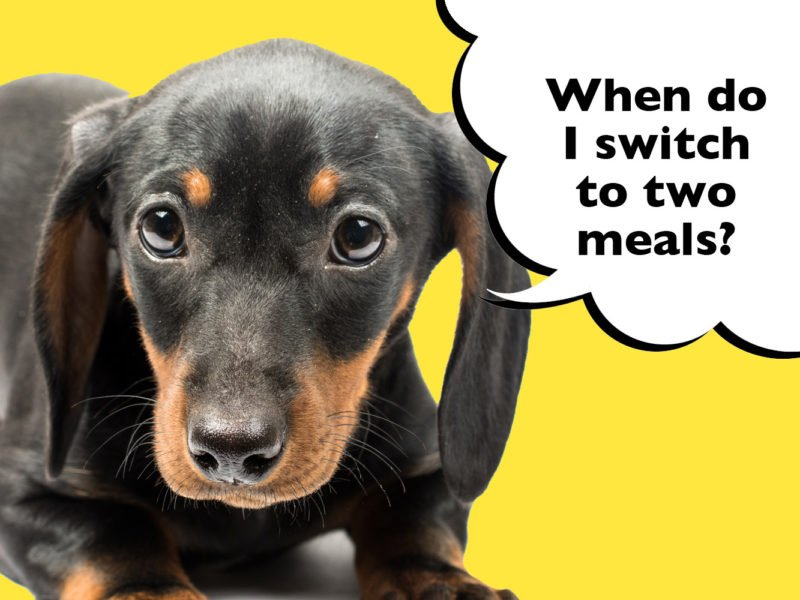 When do you switch a Dachshund puppy to two meals a day