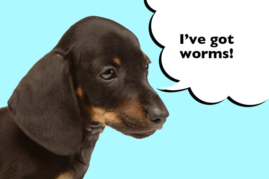Dachshund puppy on a blue background with speech bubble that says 'I've got worms'