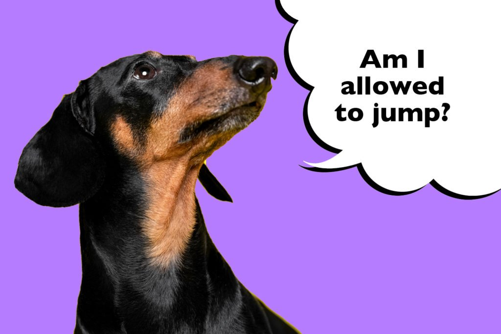 Dachshund photo on a purple background with a speech bubble that says 'am i allowed to jump?' to show that not allowing Dachshunds to jump too high will reduce the risk of IVDD.