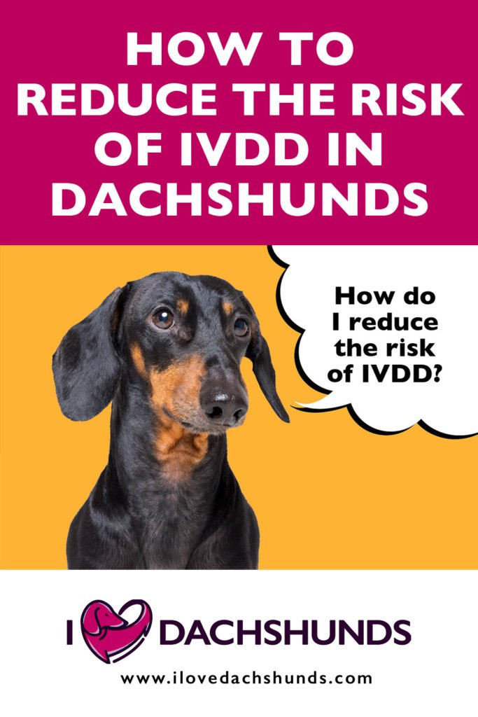 'How to reduce the risk of IVDD in Dachshunds' heading with a photo of a Dachshund and a speech bubble that says 'How do I reduce the risk of IVDD?'