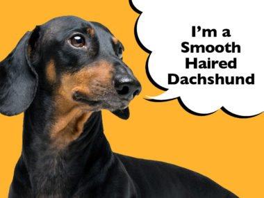 Smooth-Haired Dachshund – Complete Guide To The Breed