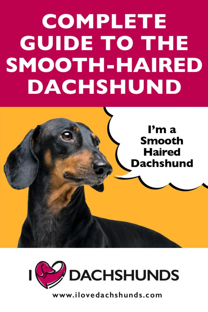 'Complete guide to the Smooth-Haired Dachshund' heading with a Smooth-Haired Dachshund on a bright orange background