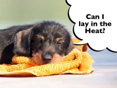 Can Dachshunds stay outside in the heat?