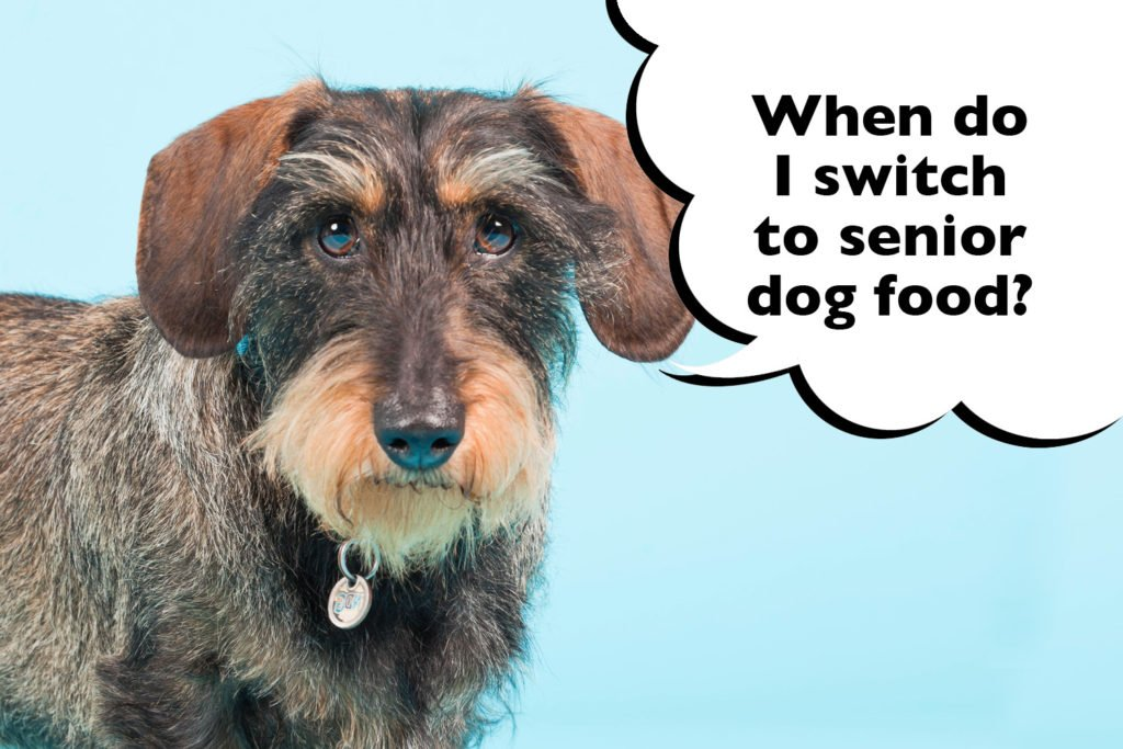 Dachshund on blue background with a speech bubble that says 'when do i switch to senior dog food?'