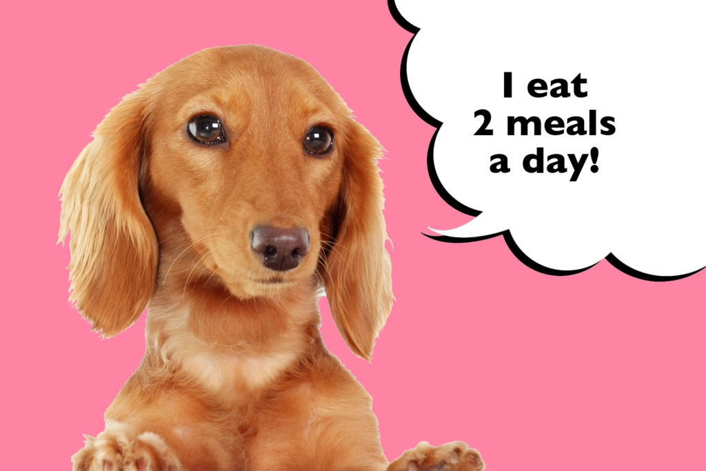 Dachshund on a pink background with a speech bubble that says 'I eat 2 meals a day'