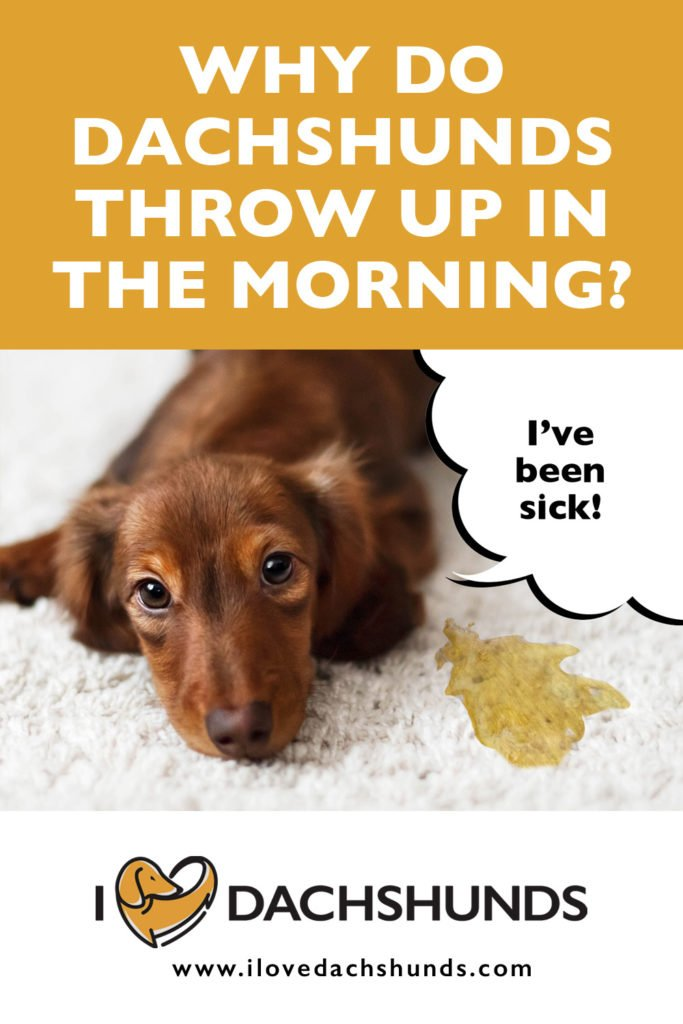 'Why do Dachshunds throw up in the morning?' heading with a photo of a Dachshund laying down after throwing up on the carpet