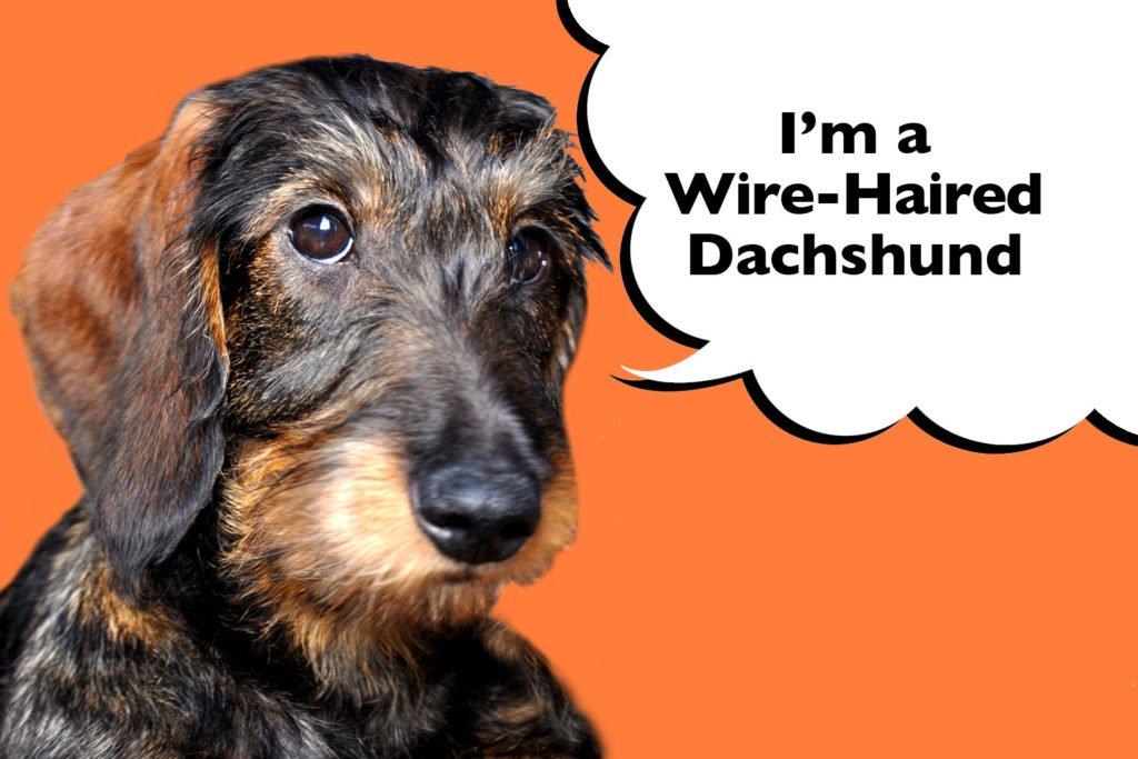 Wire-haired Dachshund on an orange background
