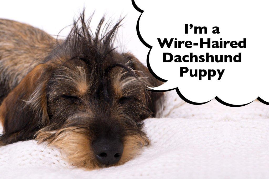 Wire-haired Dachshund puppy sleeping