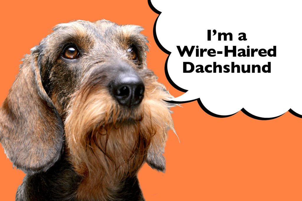 Wire-haired Dachshund with long beard on an orange background