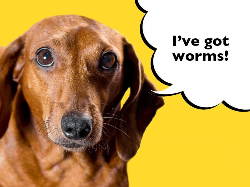 How do I know if my Dachshund has worms?