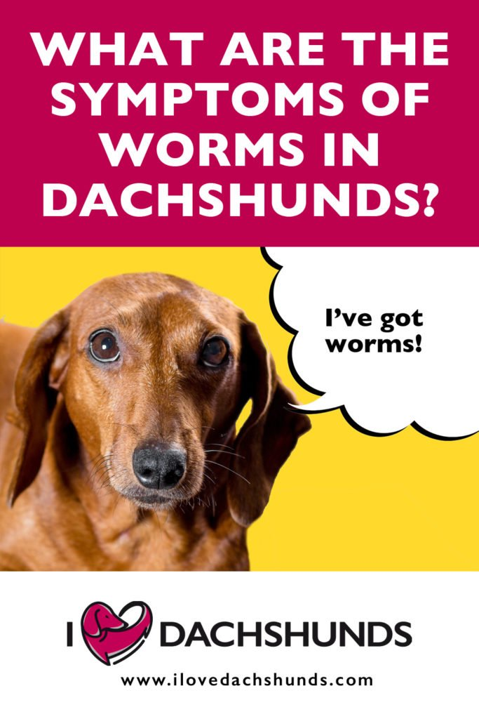 Dachshund on a yellow background with speech bubble that says 'I've got worms'