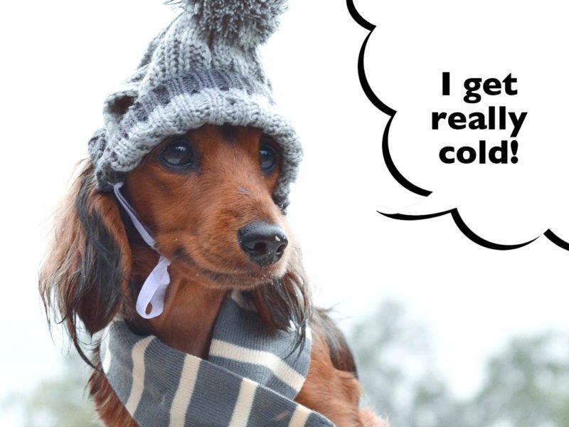 Do Dachshunds Get Cold Easily?
