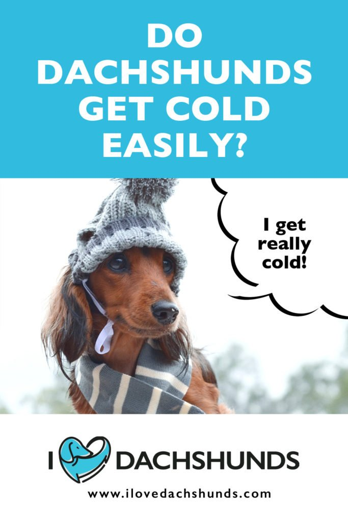 'Do Dachshunds get cold easily?' heading with a photo of Dachshund in the snow with a speech bubble that says 'I get really cold'.