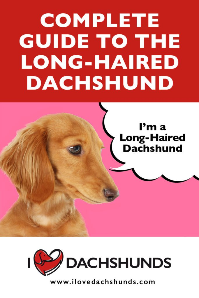 Long-Haired Dachshund on a pink and red background with a speech bubble that says 'I'm a Long-Haired Dachshund'.