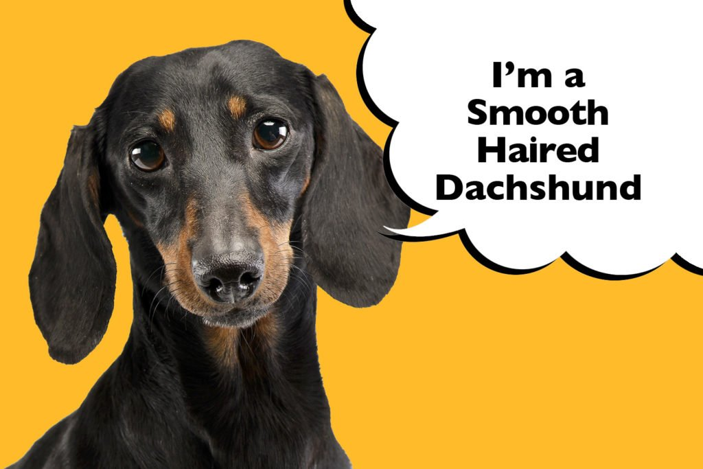 Smooth-Haired Dachshund on a bright yellow background