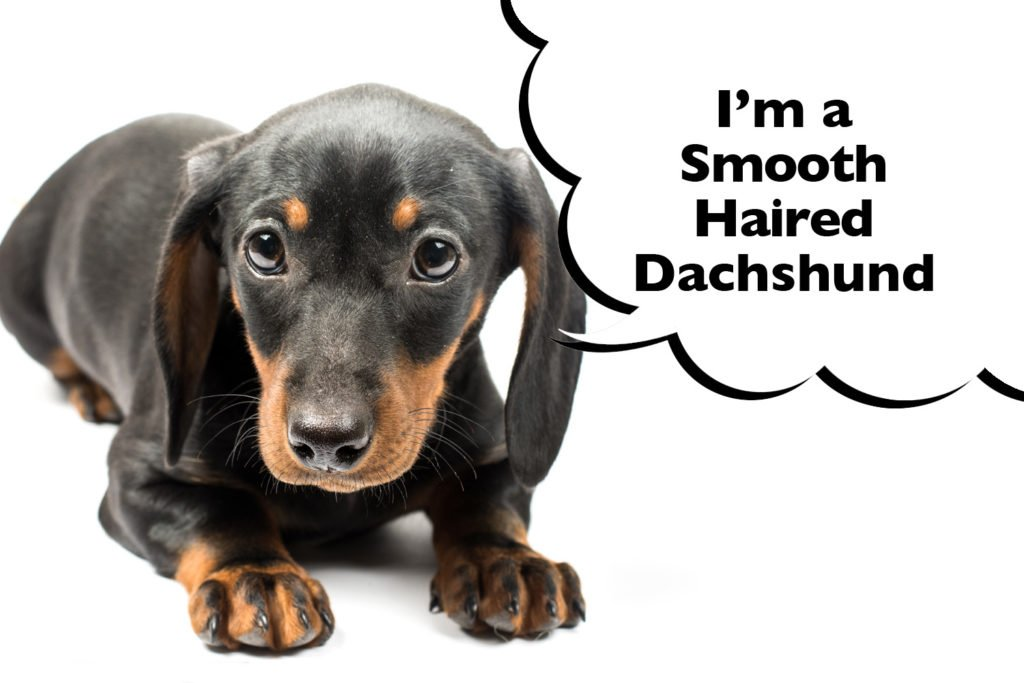 Smooth-Haired Dachshund puppy laying down