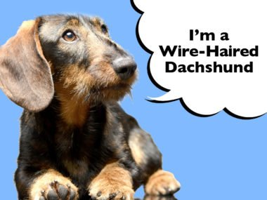 Wire-Haired Dachshund Complete Guide To The Breed