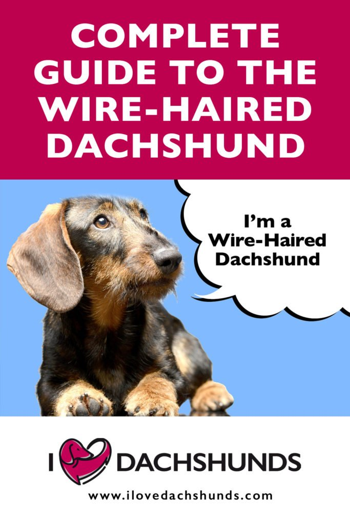 'Complete guide to the Wire-Haired Dachshund' heading with a photo of a Dachshund laying down on a blue background