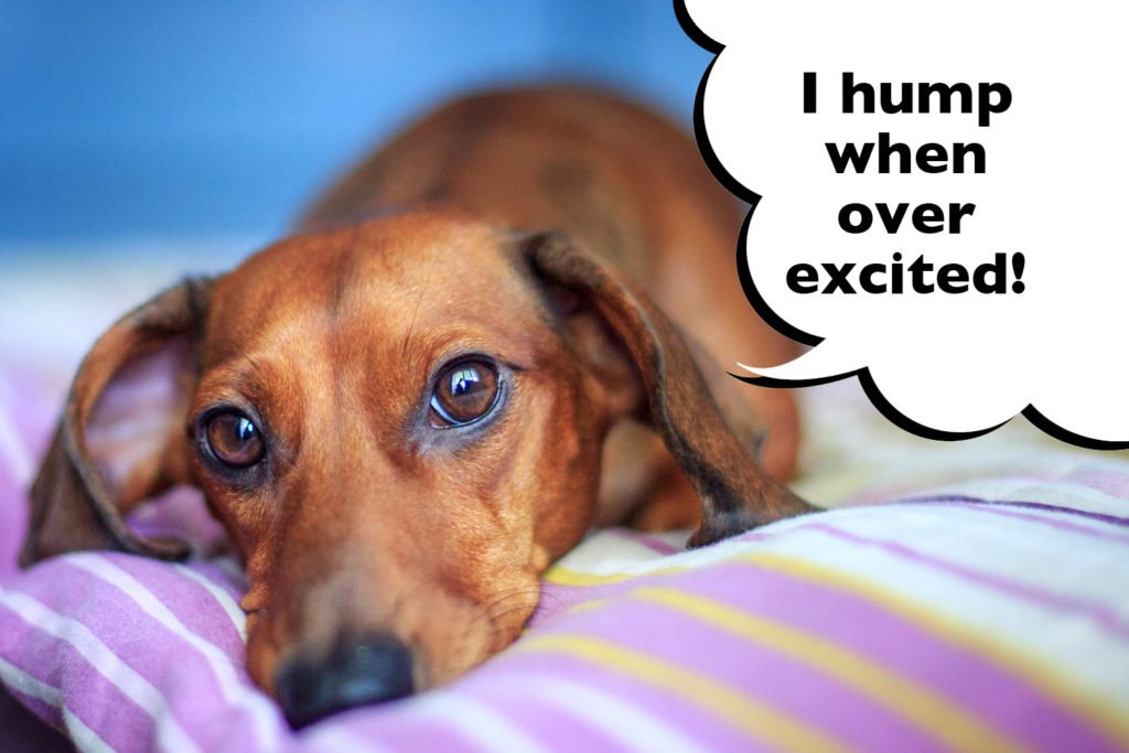 Female Dachshund laying on the bed with speech bubble that says 'I hump when over-excited'