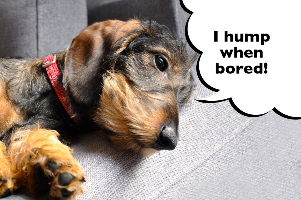 Female Dachshund laying on the sofa with speech bubble that says 'I hump when bored'