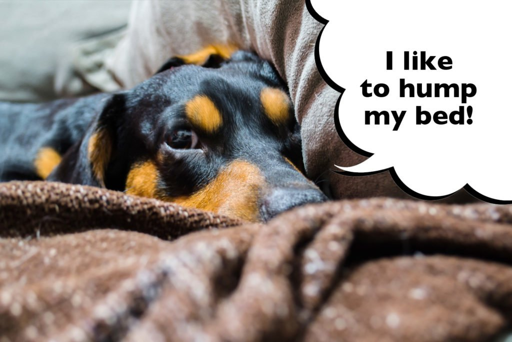 Female Dachshund laying on the ned with speech bubble that says 'I like to hump my bed'