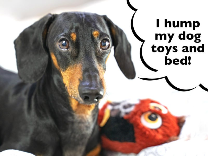 Why is my female Dachshund humping?
