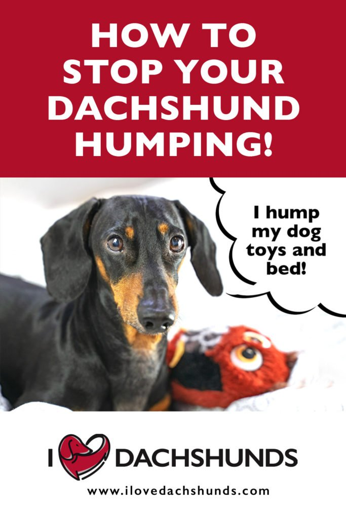 'How to stop your Dachshund humping' heading with a photo of a Dachshund laying with a toy and a speech bubble that says 'I hump my dog toys and bed'.