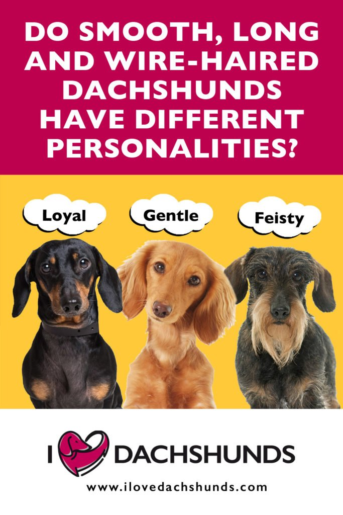 'Do Smooth, Long and Wire-Haired Dachshunds have different personalities?' heading with a photo of three dachshunds on a bright yellow background