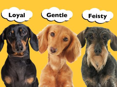 Do Smooth, Long and Wire Haired Dachshunds Have Different Personalities?