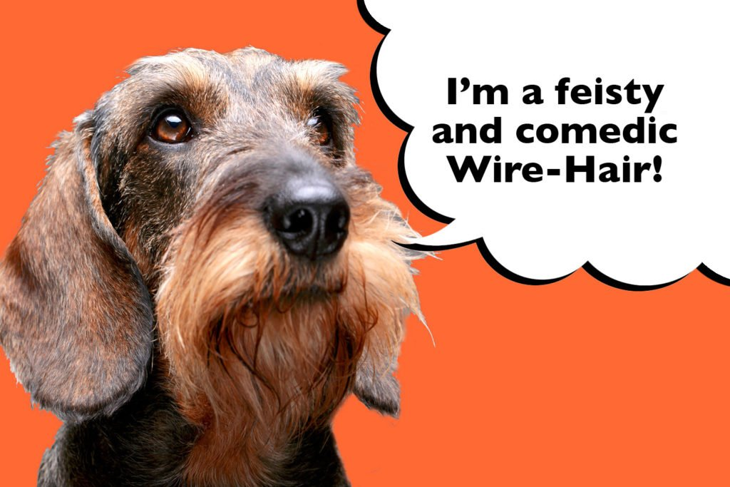 Do Smooth, Long and Wire Haired Dachshunds Have Different Personalities. Wire Haired Dachshund on an orange background with speech bubble that says 'I'm a feisty and comedic Wire Hair'